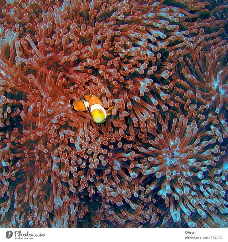 Nemo III Meer blau rot Freude See orange Fisch Unterwasseraufnahme tauchen Kino Aquarium Thailand Medien Korallen Anemonen Findet Nemo