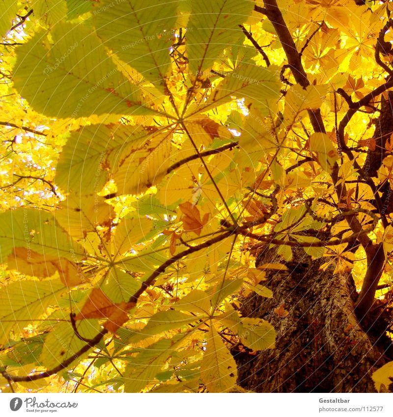 Herbstgeruch II Blatt gelb Lampe gold Ende fallen Vergänglichkeit Jahreszeiten Baumstamm Abschied Baumkrone Saison Oktober Kastanienbaum
