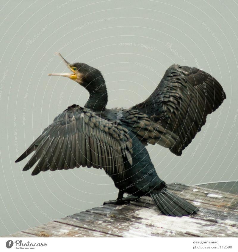 Schräger Polit-Vogel getarnt als Bundesadler Wasser schwarz Tier gelb grau fliegen Beginn Feder Flügel schreien Steg Schnabel aufmachen Federvieh ausbreiten