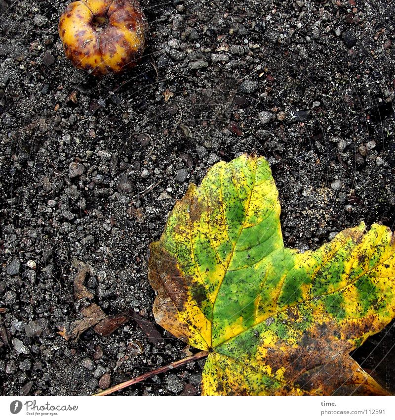 Sterben auf der Straße ist nicht schön, findet Lukas grün Blatt schwarz gelb Herbst Tod Wege & Pfade dreckig Frucht liegen verfaulen Asphalt Vergänglichkeit