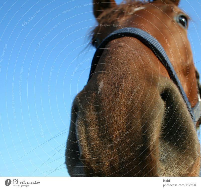 schau mir in die nase kleines... Himmel Natur Tier Auge Freiheit Nase Pferd Vertrauen Geruch Säugetier rothaarig Cowboy Reitsport Streicheln Nasenloch