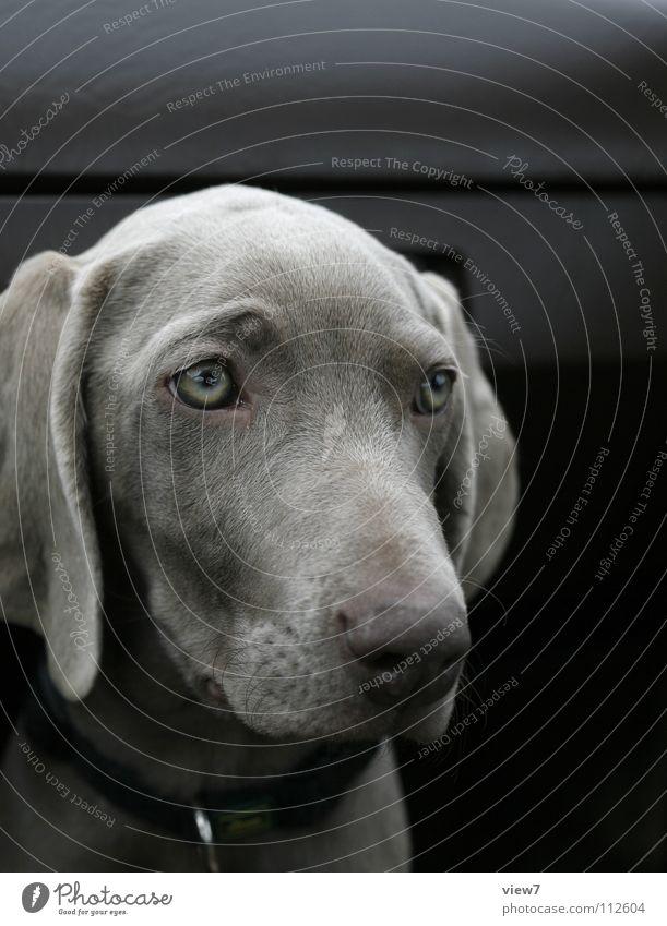 Tiamatic Weimaraner Hund Welpe Schnauze Fell Halsband niedlich Tier Hängeohr Richtung Säugetier Farbe Blick Detailaufnahme Hundehalsband Auge Tierjunges