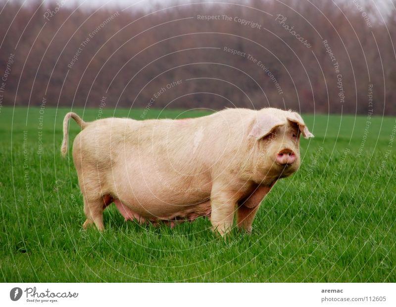 Was guckst du? Wiese Lebensmittel Säugetier ökologisch Schwein Tier freilebend Serbien