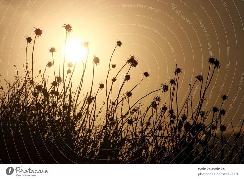 disteln in morgenstund, hat gold als hintergrund Natur Sonne schwarz Herbst gold Distel