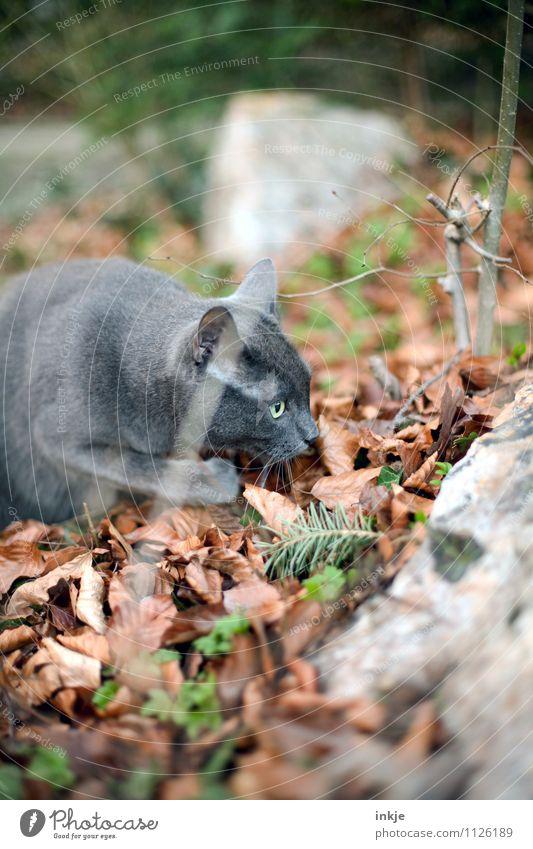 suchen Frühling Herbst Waldboden Blatt Garten Park Haustier Katze Tiergesicht Hauskatze 1 beobachten entdecken Blick natürlich Neugier Interesse Natur Suche