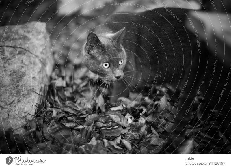 Instinkt: wach! Katze Natur Blatt Tier Wald Gefühle Herbst Garten Park Neugier Suche Wachsamkeit Haustier Tiergesicht Hauskatze Interesse