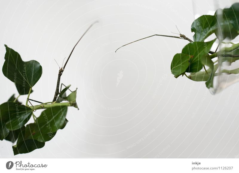 Moin Sascha! Tach, Ulrike! Efeu Blatt Tier Aquarium Insekt stabheuschrecke Heuschrecke Tierhaltung 2 Tierpaar sprechen Kommunizieren Konflikt & Streit
