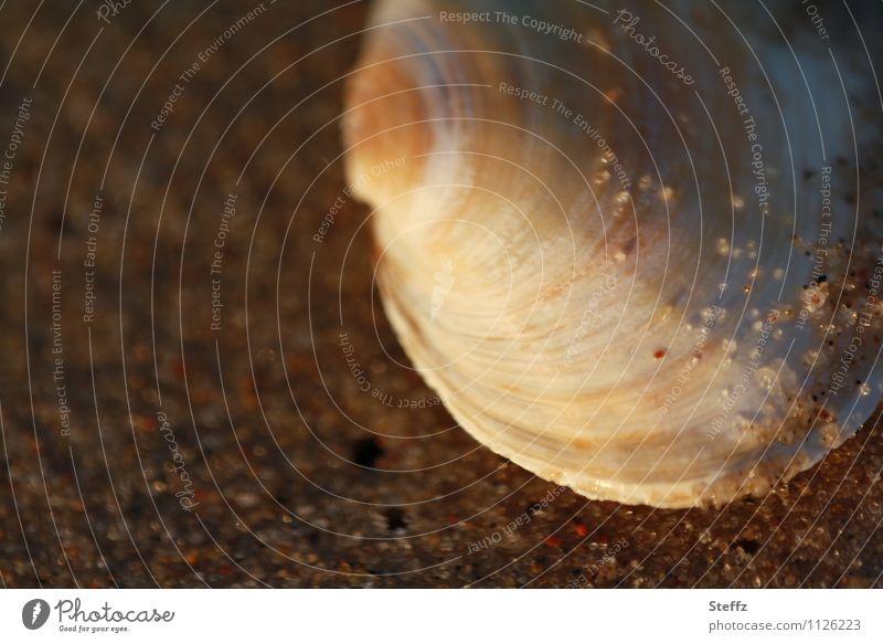 Muschelschale halbrund Sandstrand besonderes Licht maritim Achtsamkeit achtsam Sonnenlicht Lichtstimmung Dämmerung Muschelform Sandkörner warmes Licht Strand