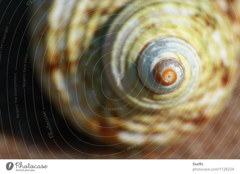 Muschelspirale Natur Sommer Strand Muschelschale Schneckenhaus Spirale rund Spitze braun beige gelb Strandgut gedreht linksgedreht Symmetrie Farbfoto