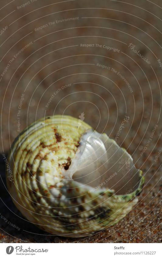 unbewohnt Natur Sommer Strand Sandstrand Muschel Muschelschale maritim natürlich rund schön braun offen leer Unbewohnt Strandgut Muschelform Schneckenhaus