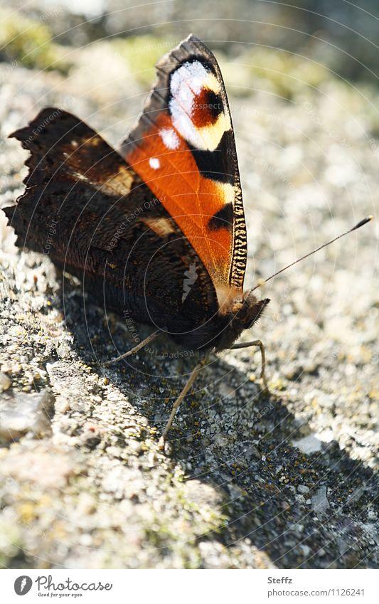 Sonne willkommen Schmetterling Edelfalter Aglais io Schmetterlingsflügel Wohlgefühl Momentaufnahme Pause machen Naturmuster ruhig Sonnenbad goldener Oktober