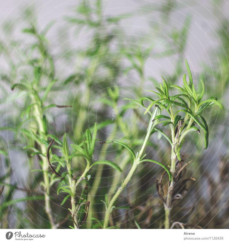 Alles Gute, barbaclara, und bleib gesund! Lebensmittel Kräuter & Gewürze Rosmarin Natur Pflanze Grünpflanze Nutzpflanze genießen Wachstum Gesundheit lecker