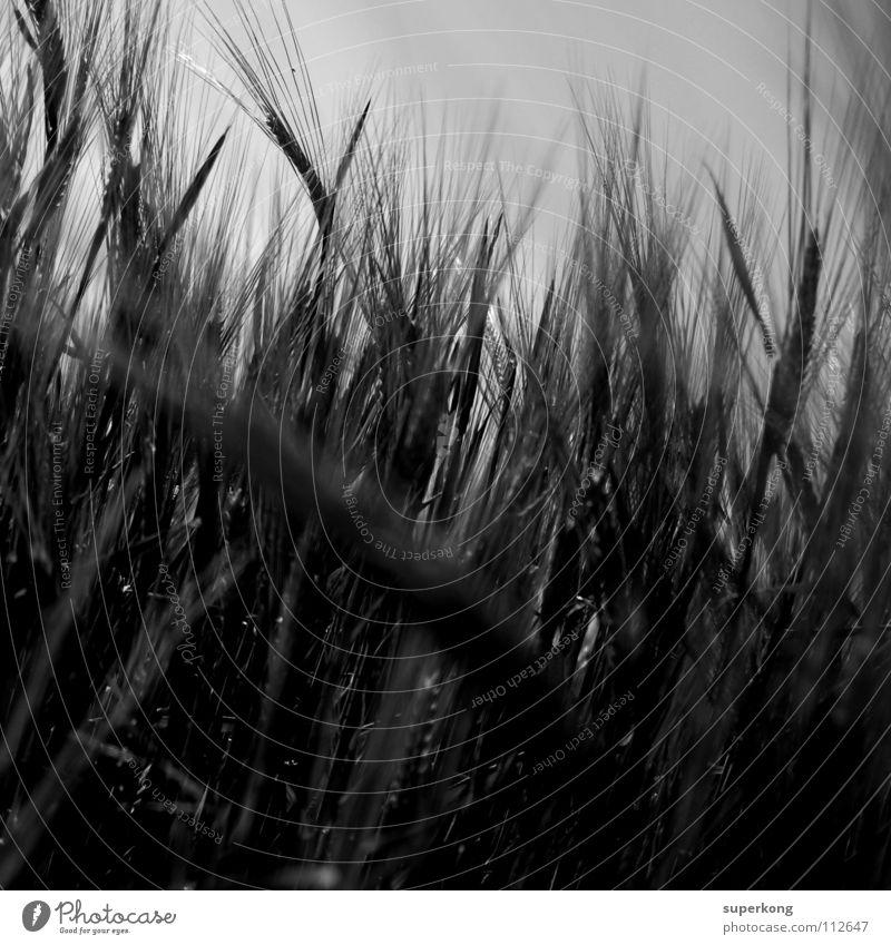 Dark Wave Stil Natur Frieden Takt Schwarzweißfoto Andre Mayr Natur & Landschaft Starke Kontraste Weizen blaxk white