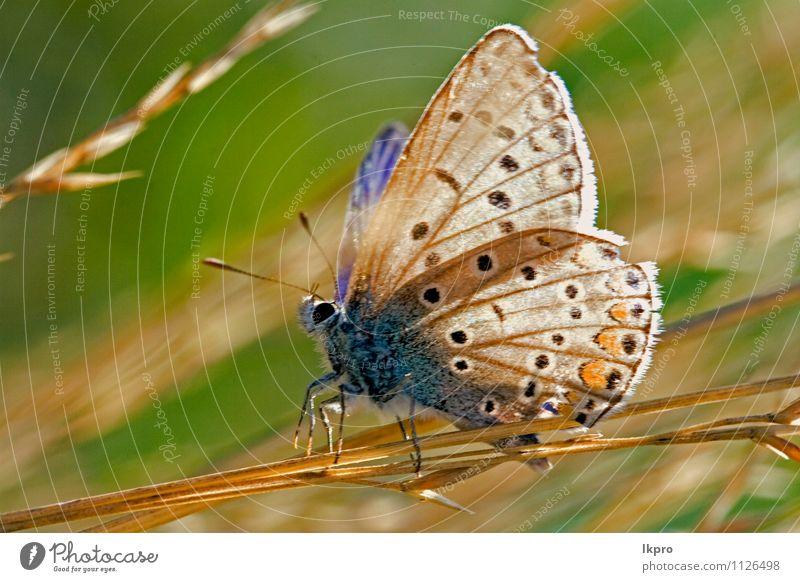 in der Buchse ruhend Garten Natur Blume Blatt Weiche Fluggerät Schmetterling Linie wild blau braun gelb grün rot schwarz weiß Farbe Ritterfalter Fleck Insekt
