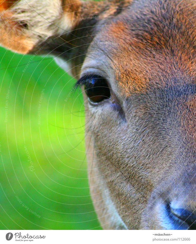 Angesicht zu Angesicht Reh Wimpern braun Rednose Rudolf Gras grün Fell Blick schön Schüchternheit Frieden glänzend schimmern Makroaufnahme Nahaufnahme Säugetier