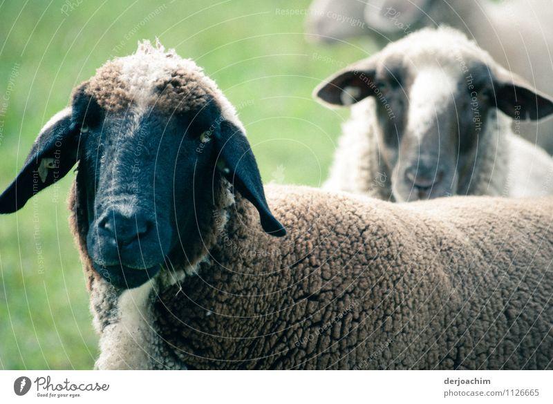 Öko Rasenmäher Natur Sommer Landschaft Freude Tier Leben Wiese Gras außergewöhnlich Deutschland Zusammensein Arbeit & Erwerbstätigkeit Lächeln genießen