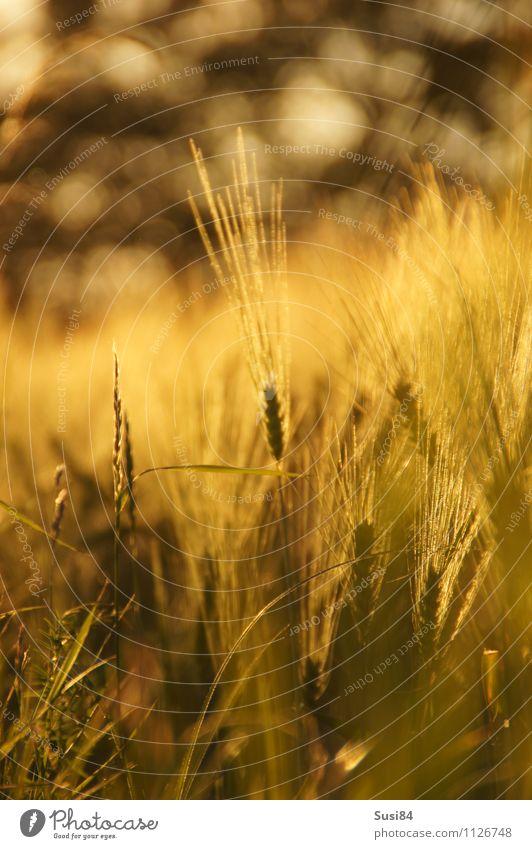 Ähre Natur Pflanze Sommer Herbst Gras Nutzpflanze Gerste Getreidefeld Gerstenfeld Feld verblüht nachhaltig natürlich gold Gefühle Lebensfreude Abenteuer