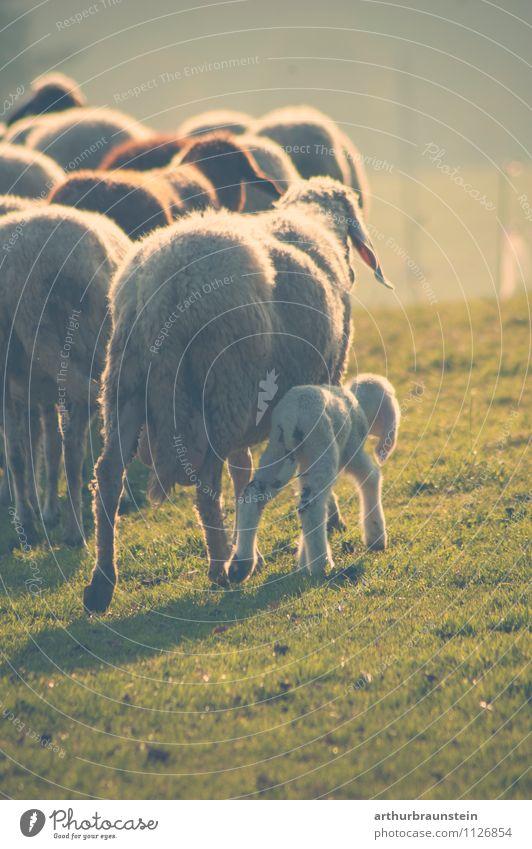 Schafherde mit Nachwuchs Natur Ferien & Urlaub & Reisen Sommer Landschaft Tier Tierjunges Leben Liebe Bewegung natürlich Glück Haare & Frisuren gehen