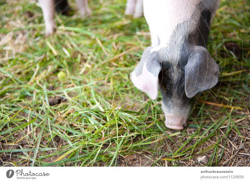 Fleckenschwein Ferkel frisst Pflanze Gras kurzhaarig Tier Nutztier Streichelzoo Schwein 1 Fressen füttern authentisch Gesundheit natürlich Glück Zufriedenheit
