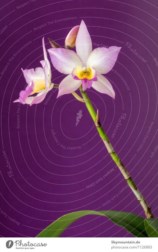 Cattleya Lifestyle Reichtum elegant Stil Design exotisch Freude Glück Natur Pflanze Frühling Sommer Herbst Winter Blüte Gefühle Stimmung Fröhlichkeit