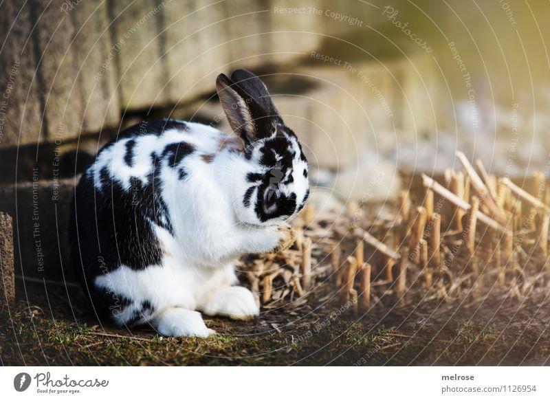 schäm schäm ... weiß Erholung Tier schwarz Gesicht Traurigkeit Wiese Frühling Gras natürlich Garten braun Zufriedenheit Sträucher niedlich weich