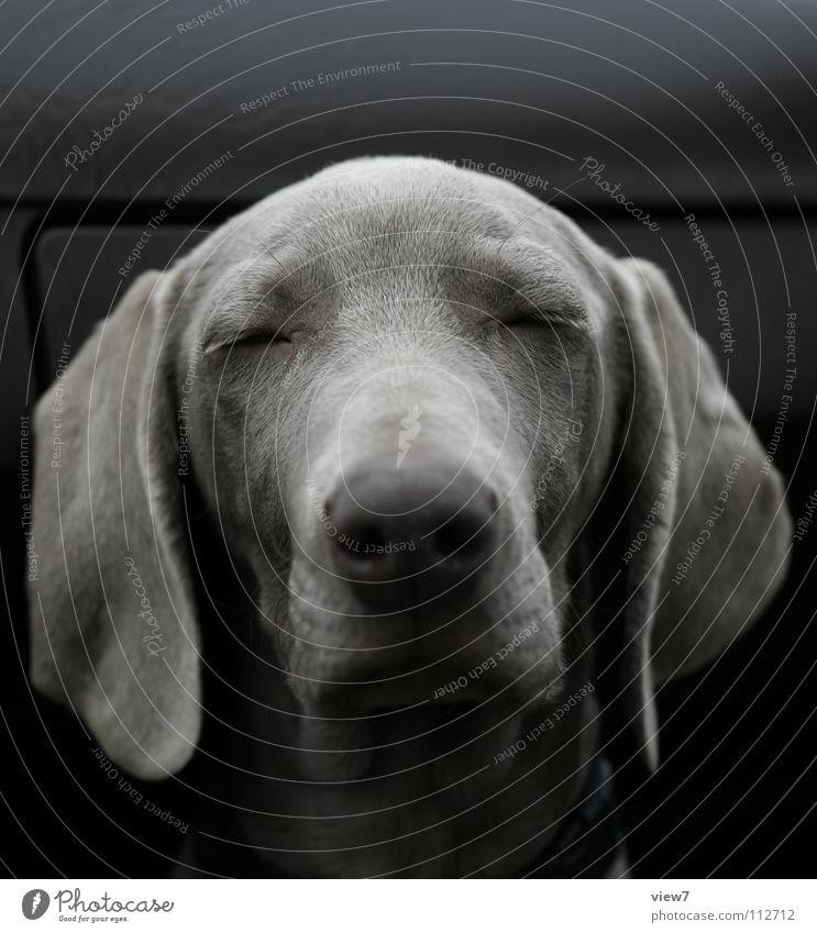 Hach ... Hund Welpe niedlich fein schön schlafen Schnauze hängen braun Weimaraner Säugetier geschlossen Nase Auge Hundekopf Hundeschnauze geschlossene Augen