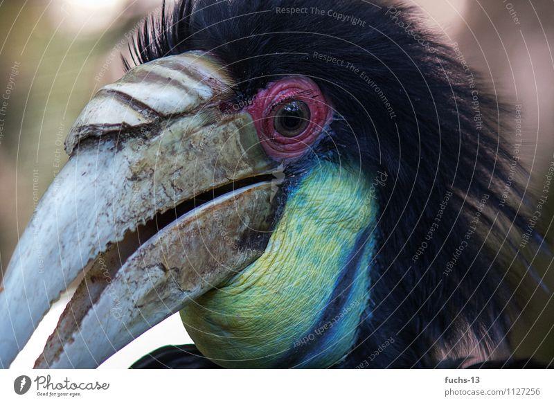 Hornvogel blau Tier schwarz gelb Vogel Kraft Wildtier fantastisch beobachten bedrohlich Coolness Neugier nah entdecken gruselig Wachsamkeit