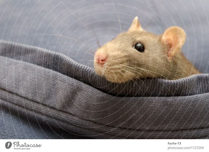 Pinki die Ratte Tier Haustier Tiergesicht 1 beobachten kuschlig Neugier niedlich blau braun Vorfreude Mut Tatkraft Tierliebe Interesse Angst erleben bedrohlich
