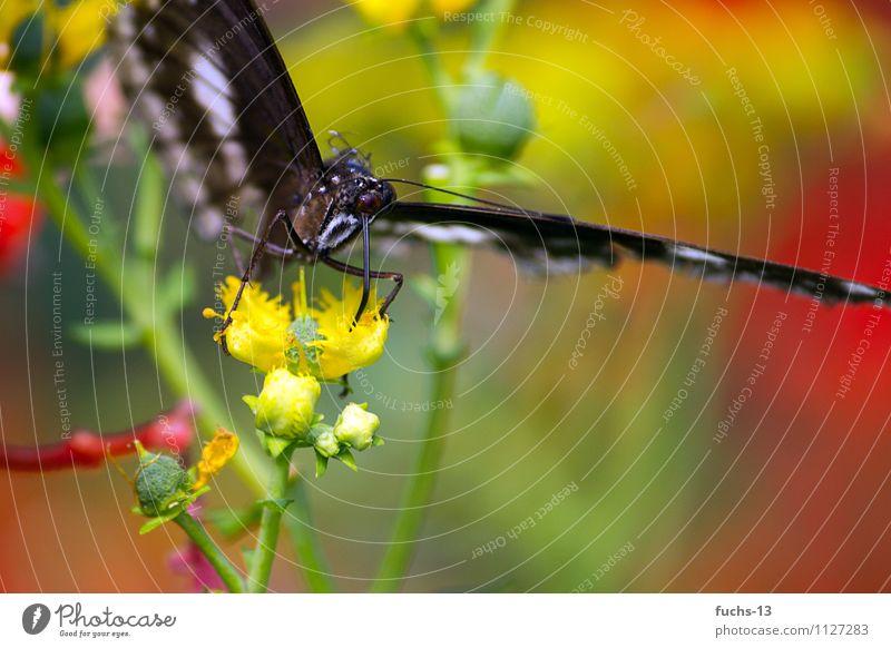Butterfly Natur Pflanze Tier Blume Wildtier Schmetterling Insekt 1 Essen Rüssel rot grün gelb Textfreiraum rechts Textfreiraum unten saugen filigran Farbfoto