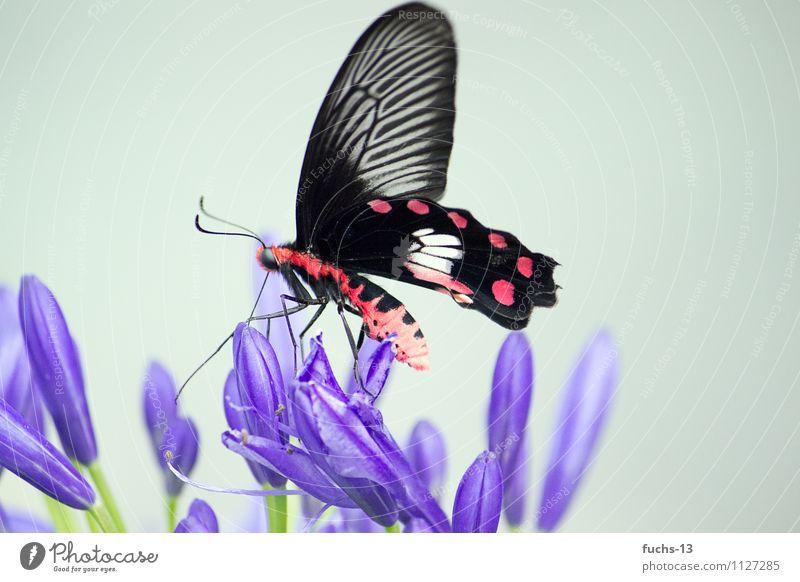 Butterfly Natur Pflanze Tier Blume Wildtier Schmetterling Insekt 1 Essen warten violett rot schwarz schön Leben Leichtigkeit filigran Farbfoto mehrfarbig