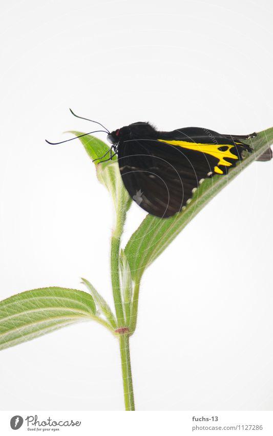 Butterfly Natur Pflanze grün Erholung Blume schwarz gelb springen warten Pause Insekt Schmetterling