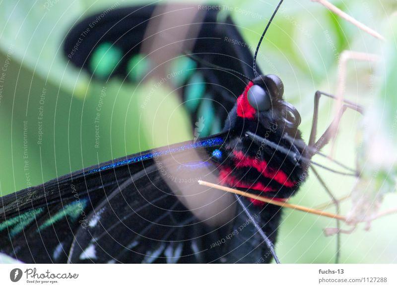 Butterfly Tier Wildtier Schmetterling Insekt 1 Armut ästhetisch Tiergesicht Rüssel beobachten verstecken rot schwarz grün Fell filigran Farbfoto Außenaufnahme