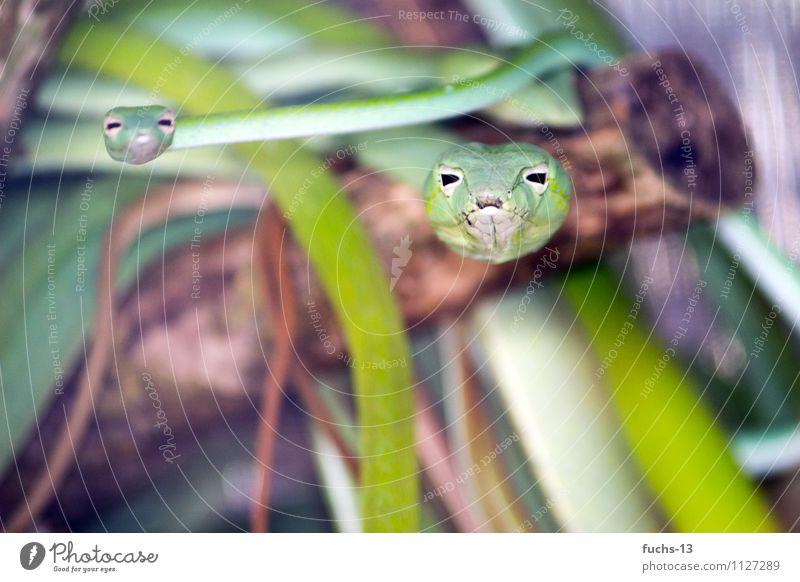 Angriff Natur grün Tier braun Wildtier Tierpaar beobachten bedrohlich Abenteuer Neugier nah dünn entdecken Wachsamkeit Mut Jagd