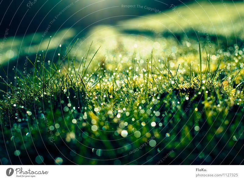 Morgentau Umwelt Natur Pflanze Erde Wasser Wassertropfen Sonnenaufgang Sonnenuntergang Sonnenlicht Frühling Regen Gras Moos Blatt Grünpflanze Garten Wiese
