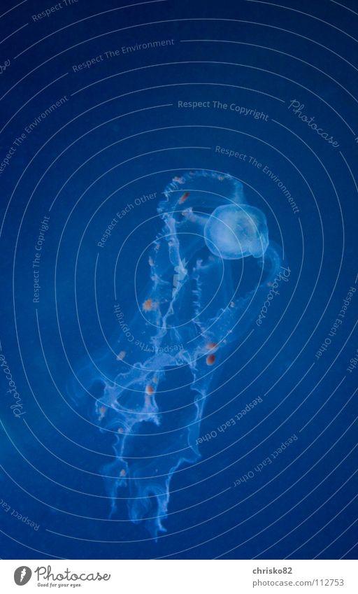 Qualle Schleim schleimig Glätte Gift Tentakel durchsichtig Meer gleiten Schweben Fisch Jellyfish Wasser tief blau Lampe Nesseltiere