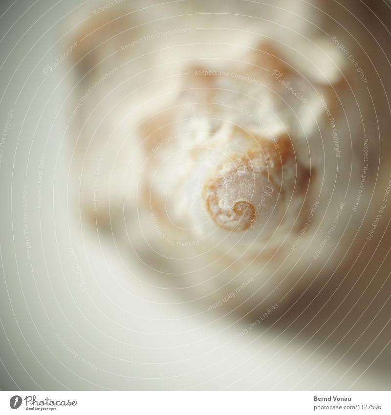 rechtsdrehend Ferien & Urlaub & Reisen Strand Meer braun orange Spirale Muschelschale Muschelform Fundstück schön erinnern Zeit Drehung gewachsen Meerestier