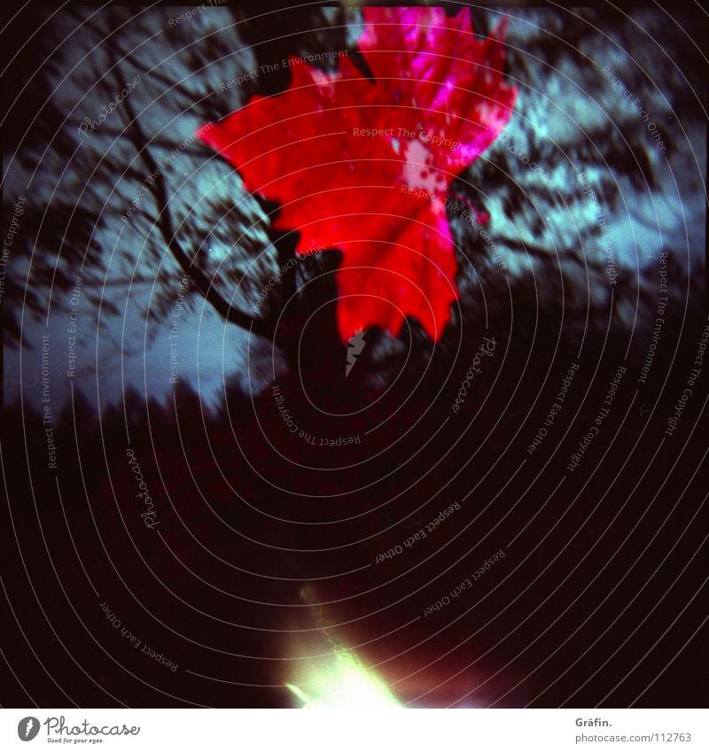 Herbst Natur Baum rot Blatt dunkel fallen Ast Blitze werfen Zweig Hannover Ahorn Lichteinfall herbstlich Lichtfleck