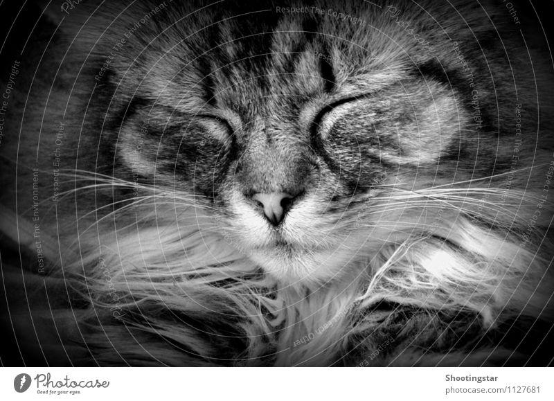 schnurr 2 Katze Tier träumen schlafen Gelassenheit Fell Haustier
