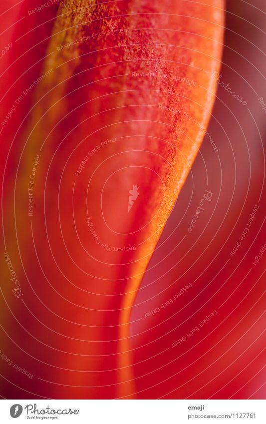 Detail Umwelt Natur Pflanze Sommer Blume Blatt natürlich rot Kurve Farbfoto mehrfarbig Detailaufnahme Makroaufnahme abstrakt Menschenleer Tag