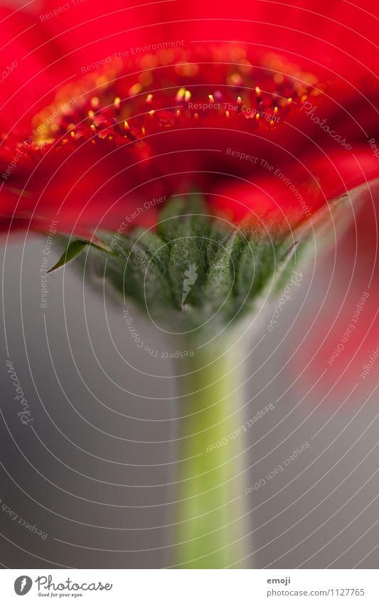 Detail Umwelt Natur Pflanze Blume Blatt Blüte natürlich grün rot Gerbera Farbfoto Außenaufnahme Nahaufnahme Detailaufnahme Makroaufnahme Menschenleer Tag