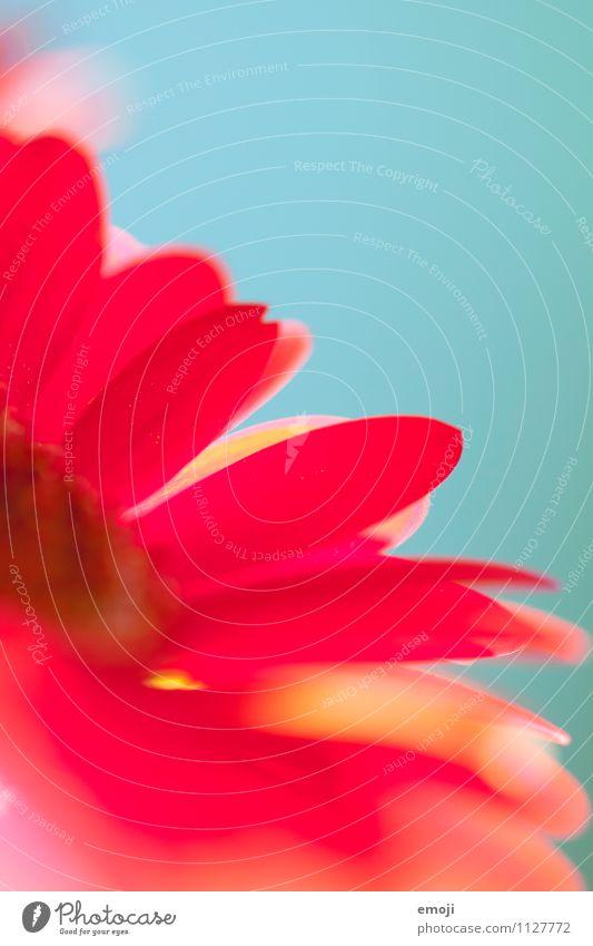Blume Natur Pflanze Sommer rot Umwelt Blüte natürlich