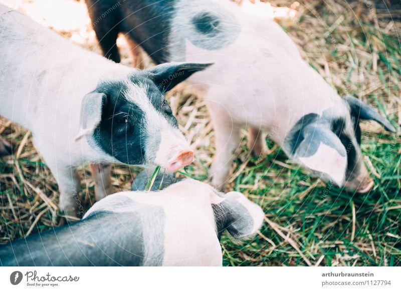 Fleckenferkel beim fressen Gesunde Ernährung Natur Gras Tier Nutztier Ferkel Schwein 3 Tiergruppe Tierjunges Fressen stehen authentisch frisch natürlich