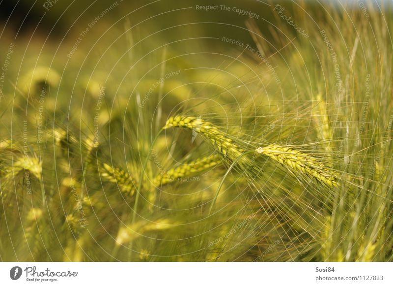 Getreideträume Umwelt Natur Pflanze Sommer Schönes Wetter Gras Nutzpflanze Gerste Feld Getreidefeld schaukeln Wachstum ästhetisch nachhaltig natürlich grün