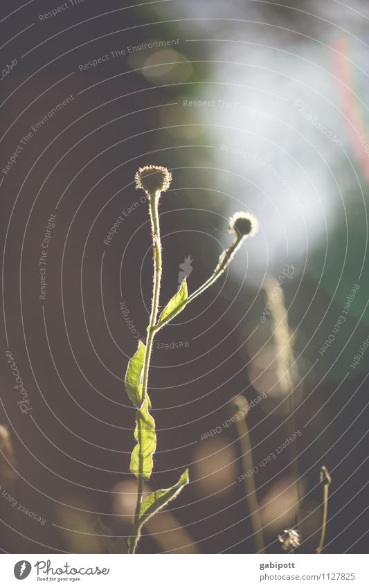Gegenlichtblume Duft Landschaft Pflanze Tier Sonnenaufgang Sonnenuntergang Sommer Schönes Wetter Blume Gras Sträucher Blatt Blüte Wildpflanze braun grün