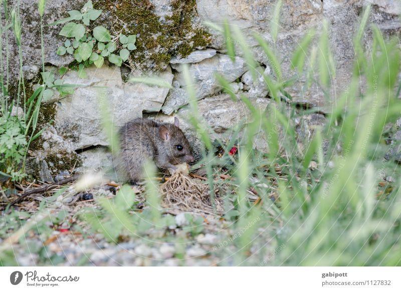 Carlos - Untermieter in Ligurien Natur Pflanze grün Tier Gras Essen grau wild Wildtier Sträucher Perspektive krabbeln Computermaus Mieter Bewohner Ratte