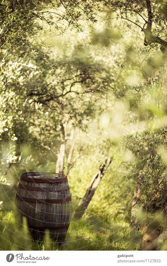 Fass ohne Boden Landschaft Sommer Schönes Wetter Baum Olivenhain Olivenbaum Garten Wald Duft Freundlichkeit Fröhlichkeit frisch grün mediterran Paradies