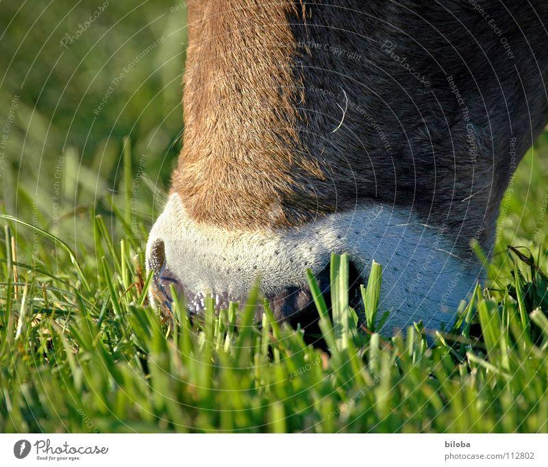 Ich habe die Schnauze voll! Kuh braun Ernährung Vieh Milchkuh Kalb muhen kalt feucht nass Nasenloch atmen Gras Fressen Butter Landwirtschaft Außenaufnahme Tier