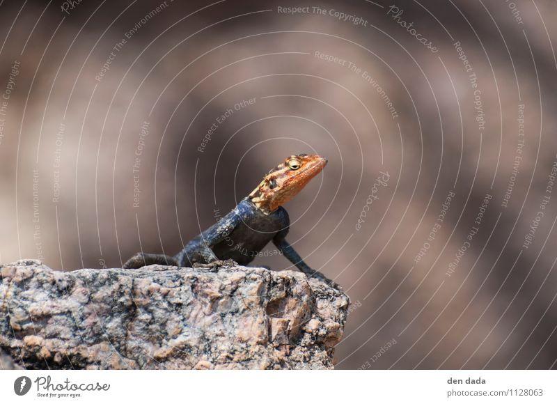 salamander stinksauer Natur Erholung rot Tier außergewöhnlich wild sitzen verrückt Sonnenbad exotisch Aggression Schuppen Echsen Lizard Salamander