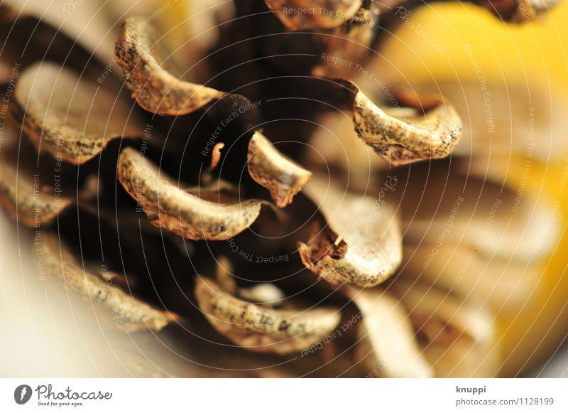 Tannenzapfen Umwelt Natur Herbst Schönes Wetter Wärme Wildpflanze Zapfen Duft braun gelb gold schwarz herbstlich Makroaufnahme Detailaufnahme Farbfoto