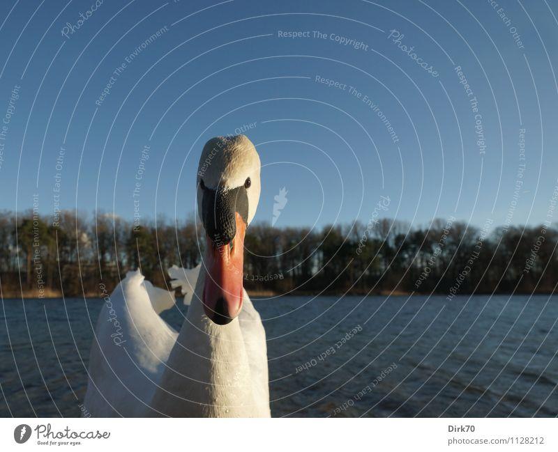 Swan attack! Umwelt Natur Sonnenlicht Frühling Schönes Wetter Baum Park Wald Wellen Küste Seeufer Ingolstadt Bayern Tier Wildtier Vogel Schwan Wasservogel 1